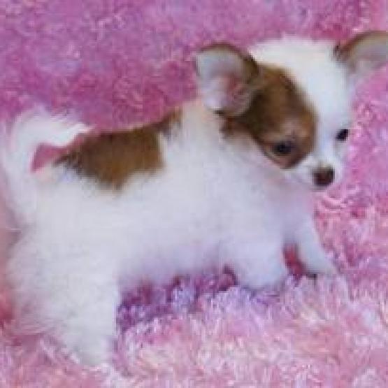 Magnifique Chiot Type Chihuahua Femelle Non Lof Gratuit Sur Animoz Net