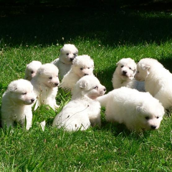 Extraordinaires chiots berger blanc suisse pure race - Chiots gratuit ...