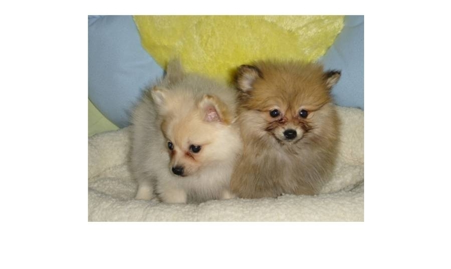 Adorables Chiots Spitz Paris 75 Gratuit Sur Animoz Net