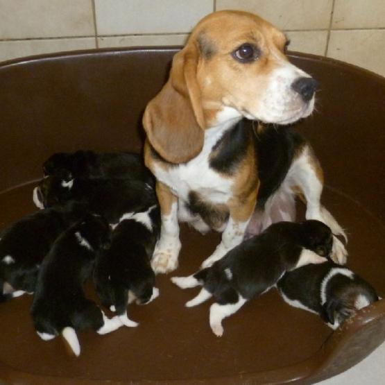 Superbes chiots beagle pure race gironde 33 gratuit - Chiots gratuit ...