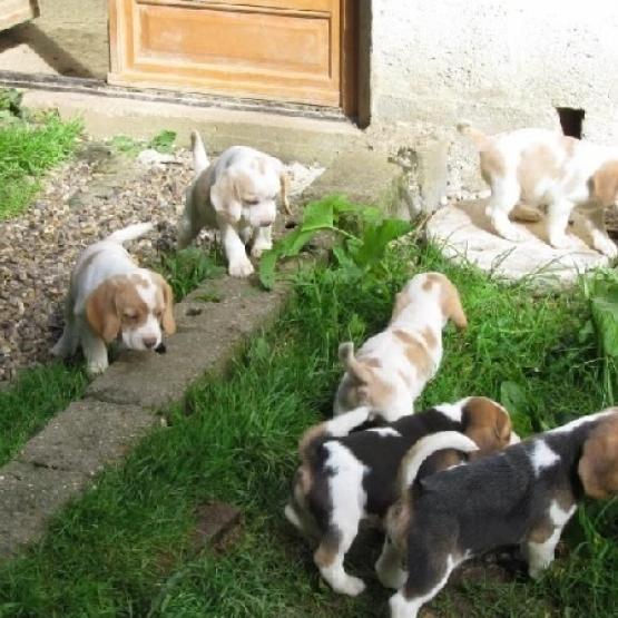 Superbes Chiots Beagle Pure Race Gironde 33 Gratuit Sur Animoz Net
