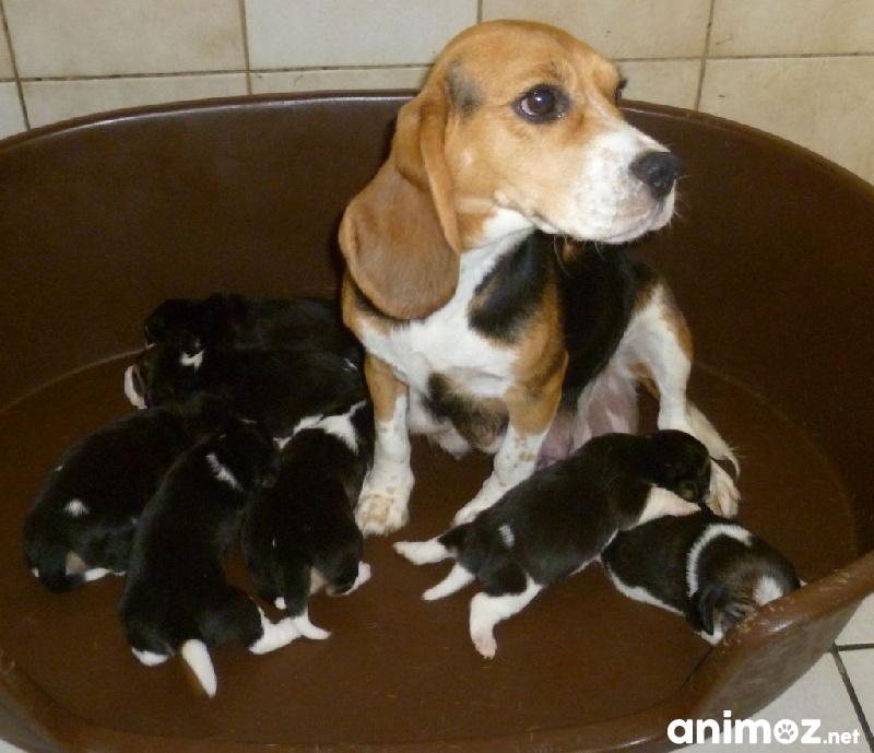 Superbes chiots beagle pure race gironde 33 gratuit - Chiot beagle gratuit ...