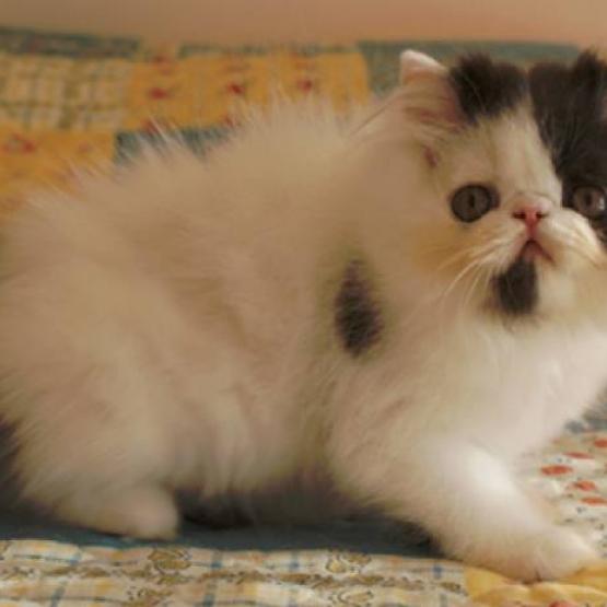 Jolie chaton disponible de suite a adopter gratuit sur - Chaton persan gratuit ...