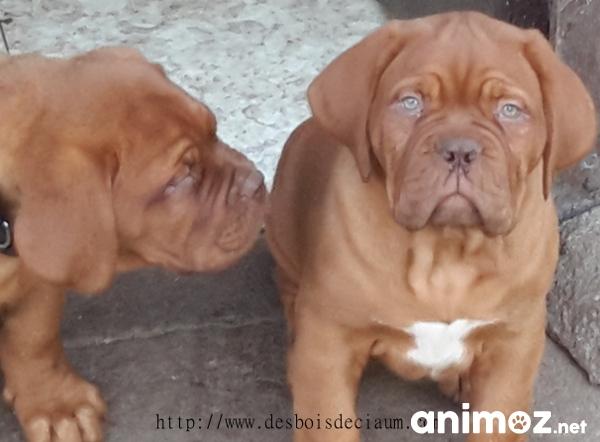 Chiots Dogue De Bordeaux Haute Vienne 87 Sur Animoz Net