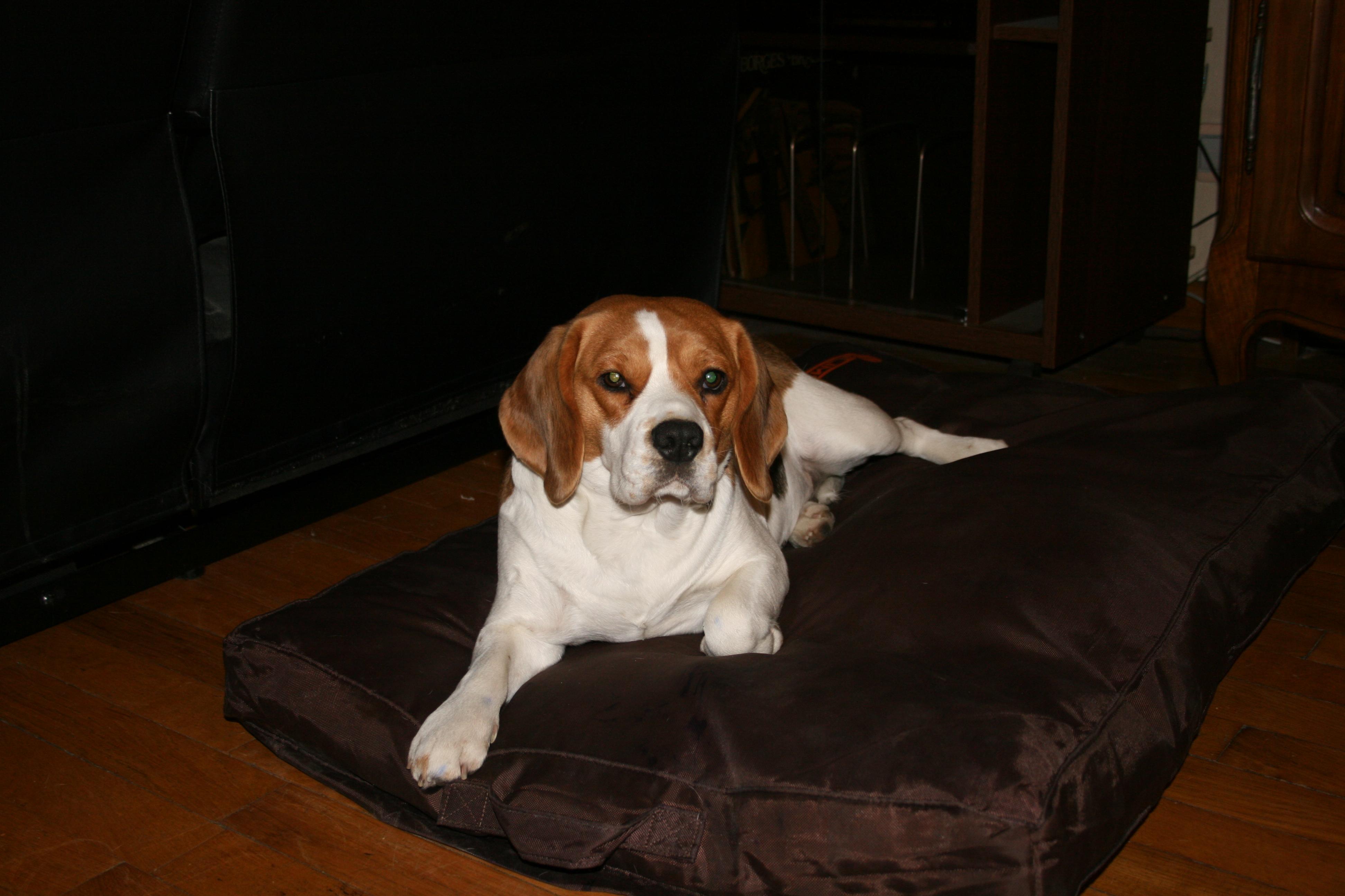 Chienne beagle cherche male pour saillie gratuit sur - Chiot beagle gratuit ...