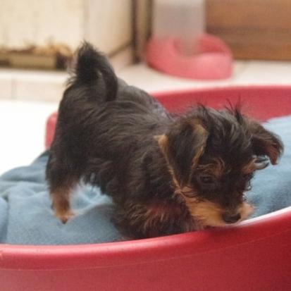 A vendre chiot beagle nord 59 gratuit sur - Chiot beagle gratuit ...