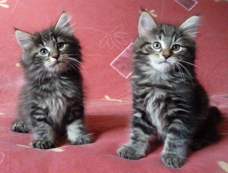 Rsultat de recherche dimages pour chaton norvgien