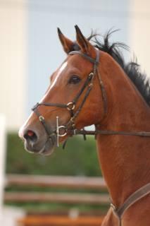 cheval selle français