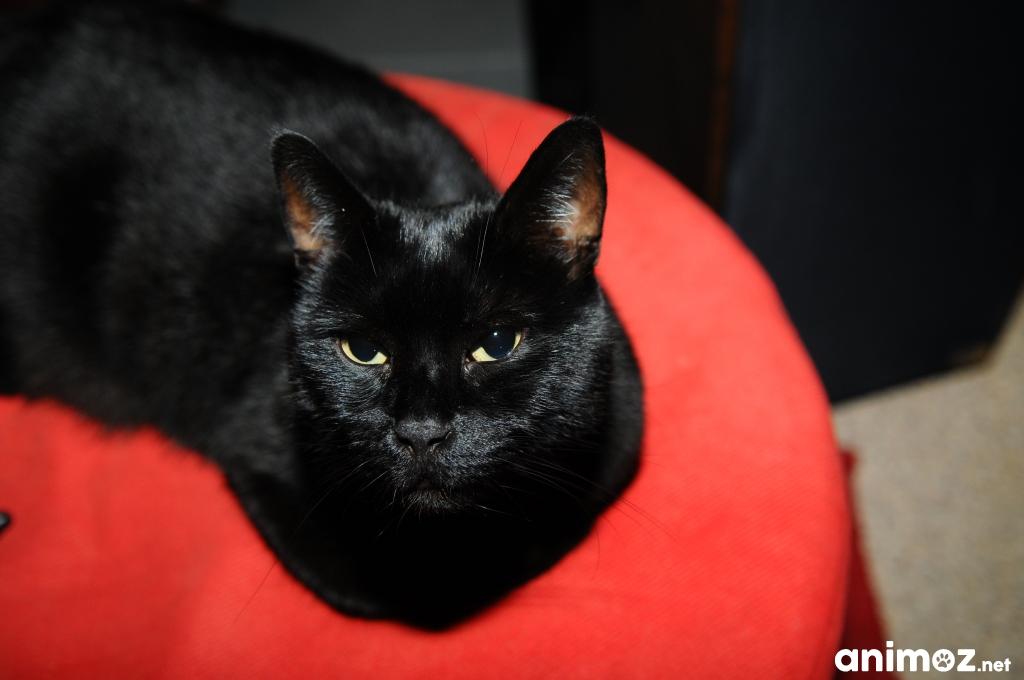 cherche nouveau foyer pour ma petite chatte noire gratuit sur. Black Bedroom Furniture Sets. Home Design Ideas