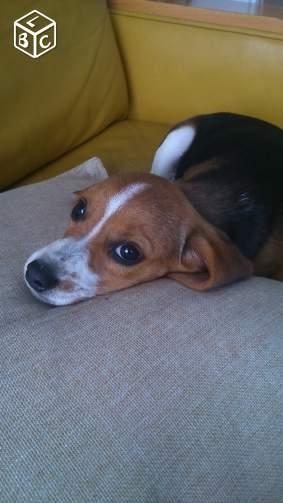Chiot femelle beagle non lof bas rhin 67 gratuit sur - Chiot beagle gratuit ...