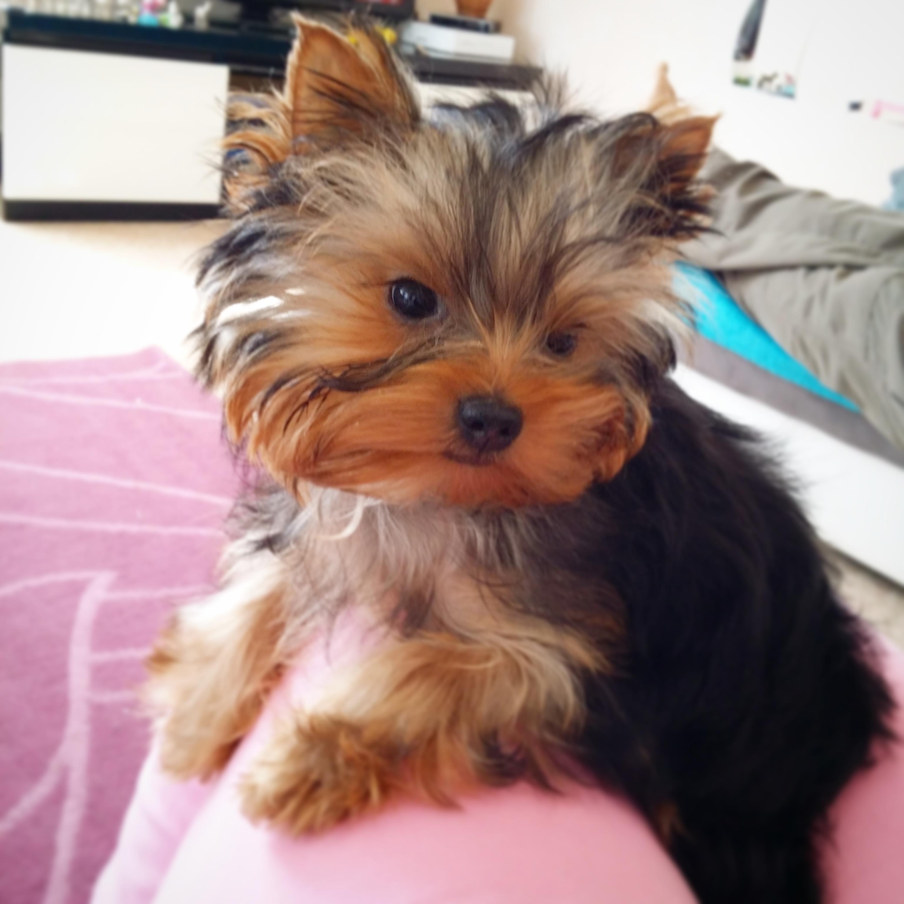 Vends Yorkshire Terrier Extra Mini Sur Animoz Net