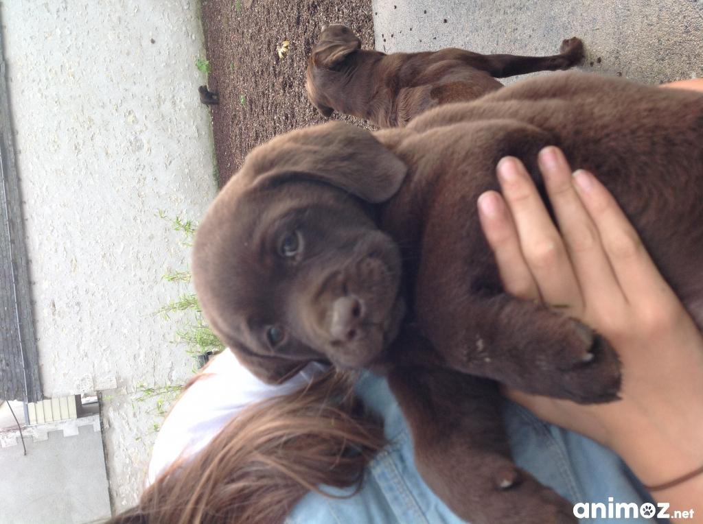 Vendons 2 Chiots Males Labrador Chocolat Lof Loir Et Cher 41 Sur Animoz Net