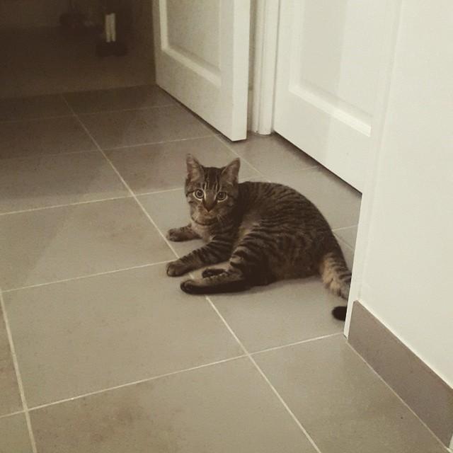chat m le europ en tigr de 10 mois affectueux yvelines 78 sur. Black Bedroom Furniture Sets. Home Design Ideas