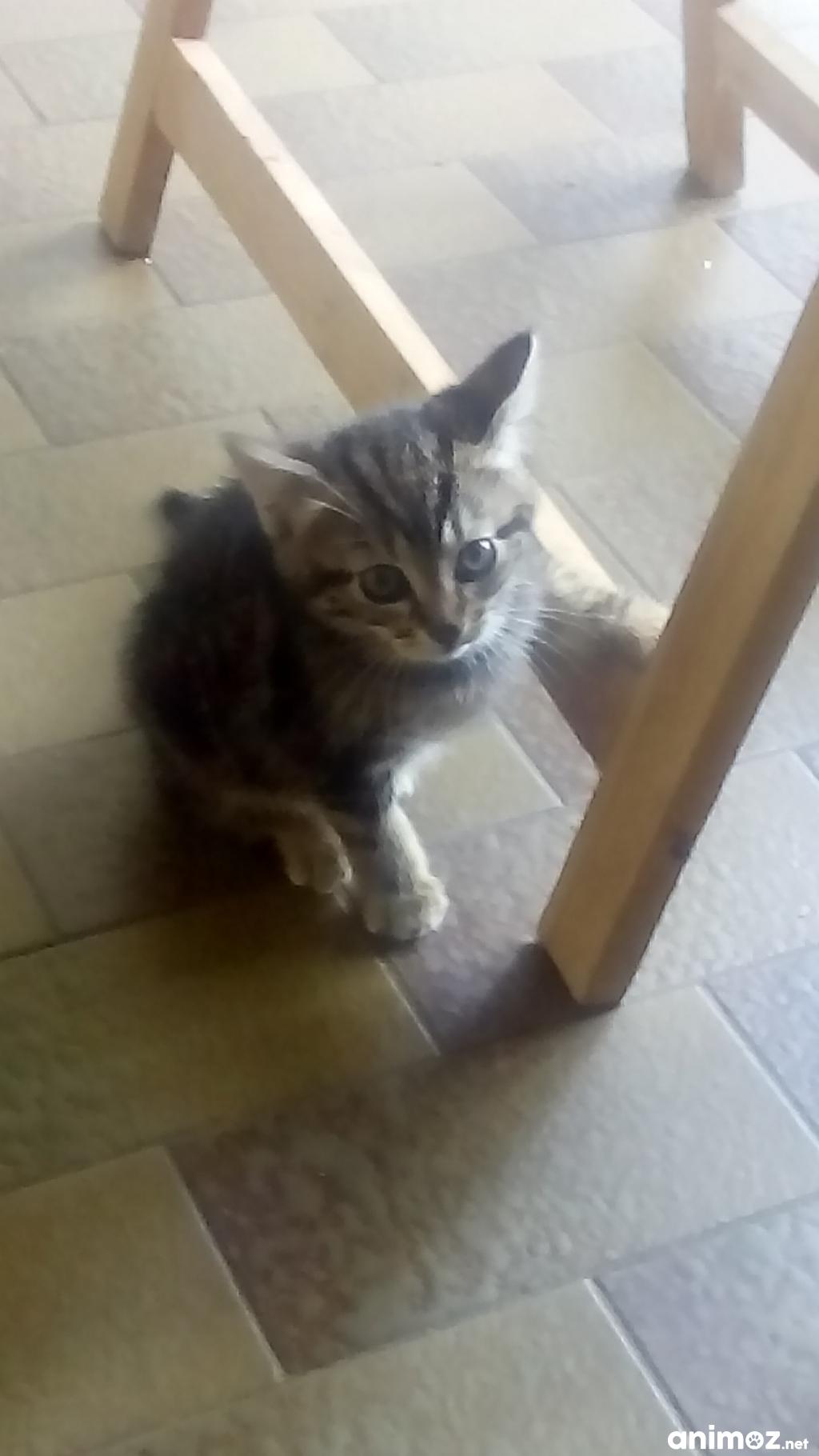 Donne chaton femelle charente 16 gratuit sur - Chaton persan gratuit ...