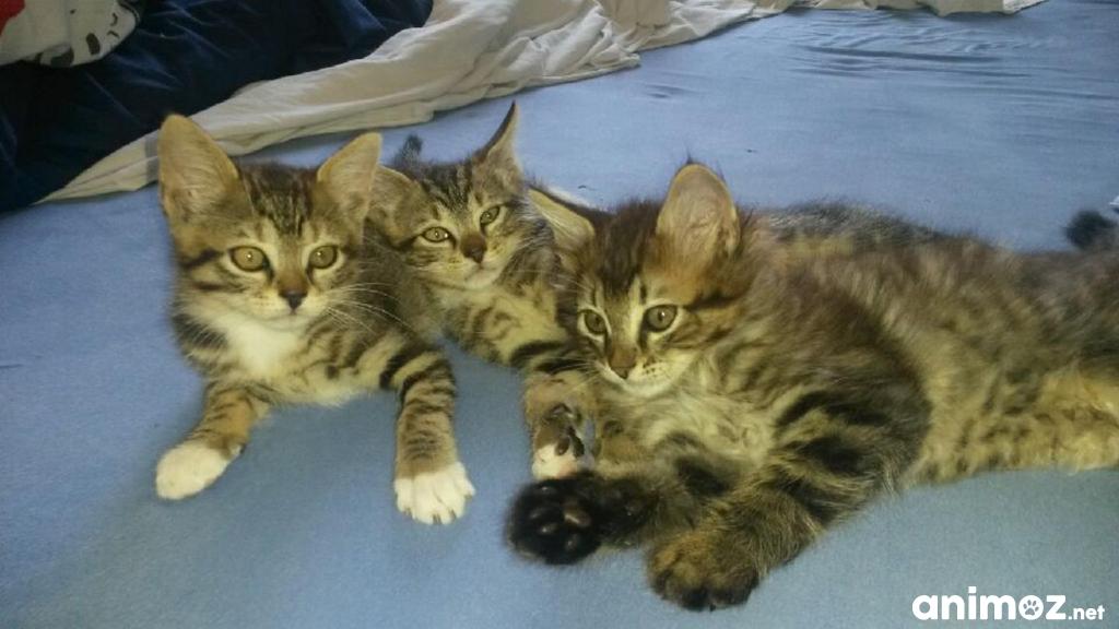 donne adorable petit chatons loire atlantique 44 gratuit sur. Black Bedroom Furniture Sets. Home Design Ideas