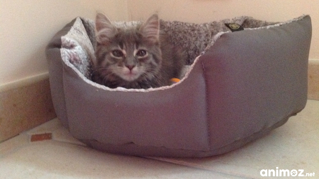 Donne petit chaton gris manche 50 gratuit sur - Petit chaton gratuit ...