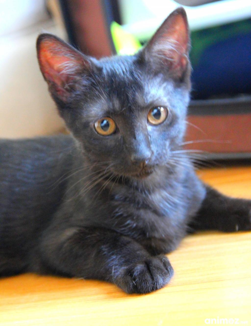 adorable chaton ne de couleur black smoke adopter essonne 91 gratuit sur. Black Bedroom Furniture Sets. Home Design Ideas