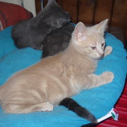 recherche chaton femelle blanche et gris clair type siamois vaucluse 84 gratuit sur. Black Bedroom Furniture Sets. Home Design Ideas