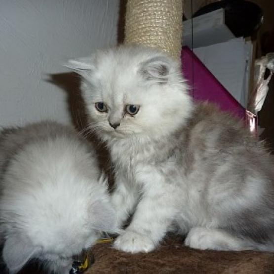 Don A L Adoption Chat Persan Silver Shaded Oise 60 Gratuit Sur Animoz Net