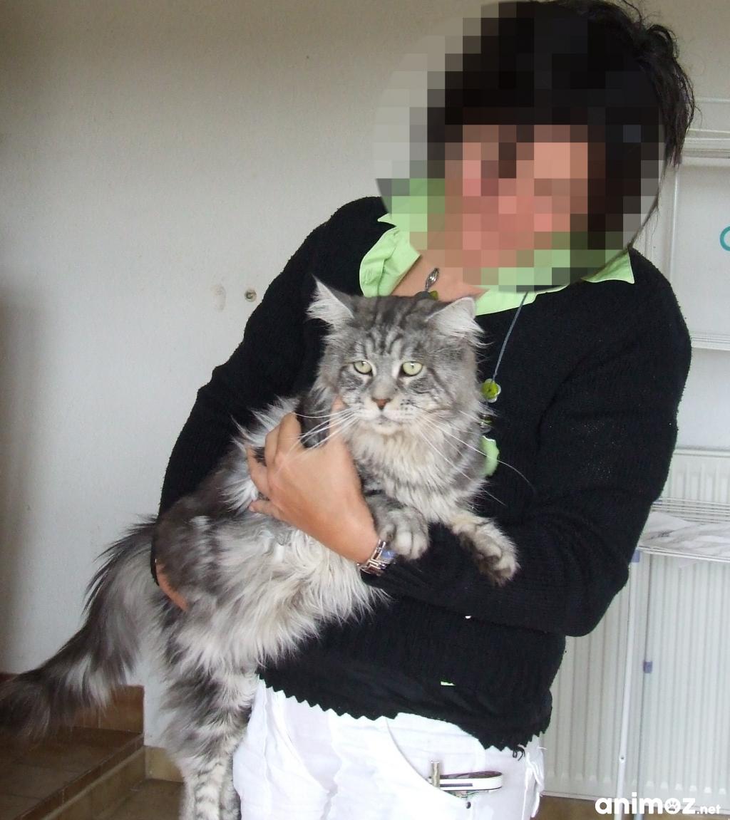 image pour lannonce chatons maine coon loof levs en famille