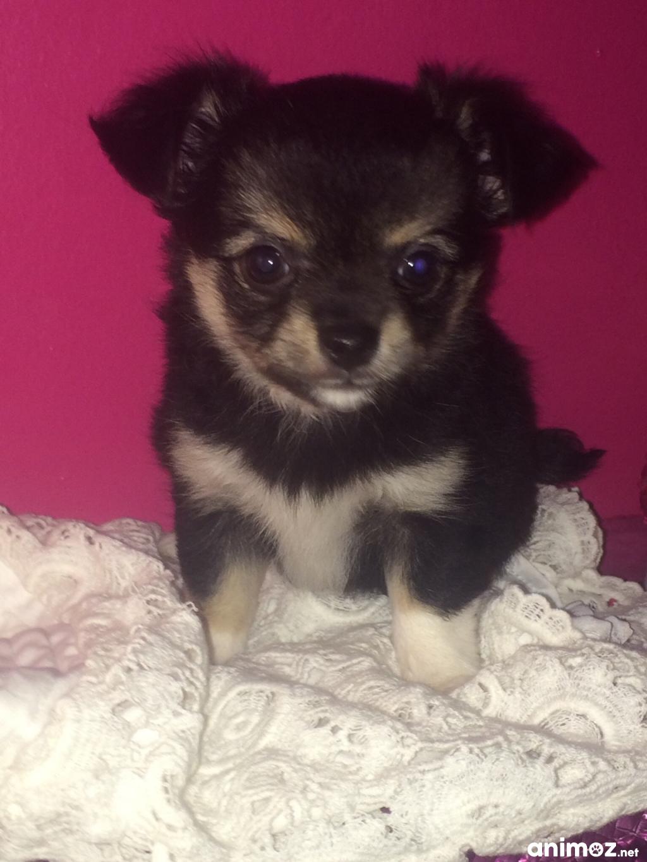 Chiots Chihuahua Poils Long A Vendre Val De Marne 94 Gratuit Sur Animoz Net