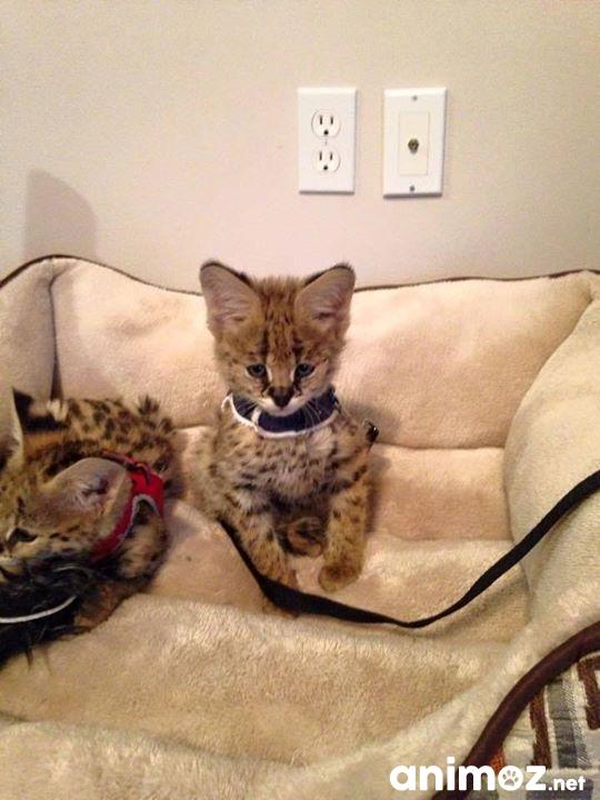 f1 savannah et chatons serval disponible fribourg fr sur. Black Bedroom Furniture Sets. Home Design Ideas