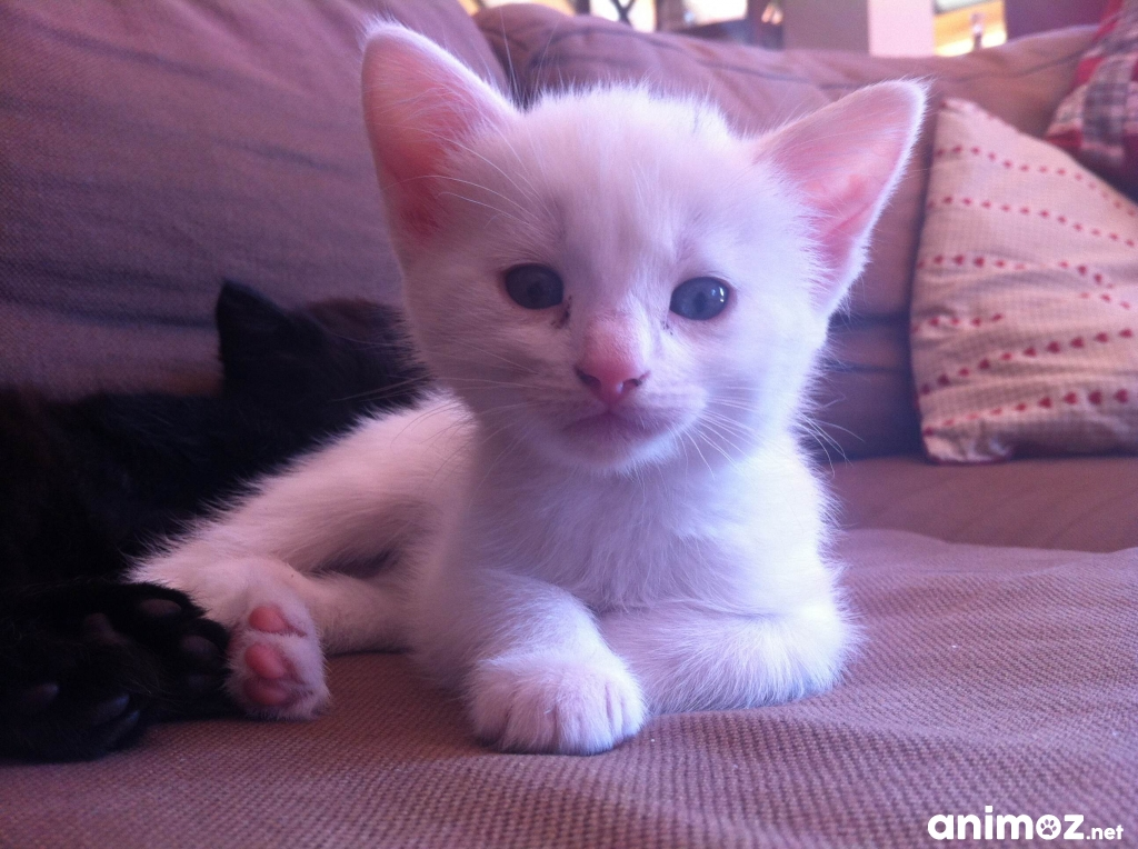 Chaton blanc donner manche 50 gratuit sur - Jeux de petit chaton gratuit ...