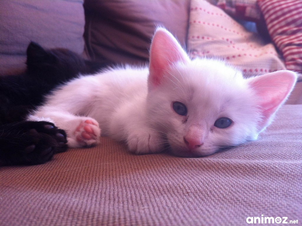 chaton blanc gratuit. Black Bedroom Furniture Sets. Home Design Ideas