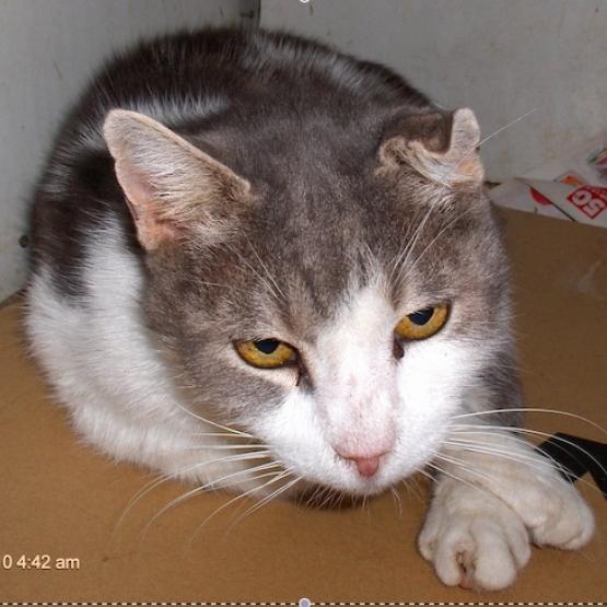 donne brave chat adulte gris et blanc marseille gratuit - Chat Adulte Gratuit