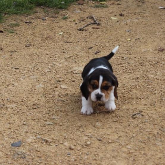 Magnifique Chiot Type Beagle Male Isere 38 Sur Animoz Net