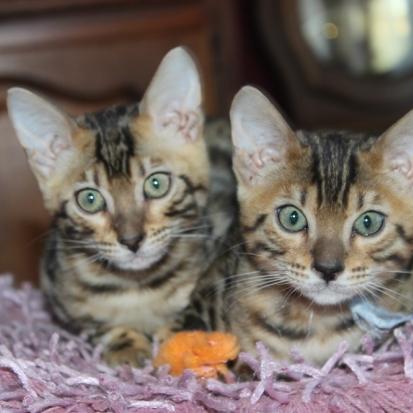 Donne jolis chatons aisne 02 gratuit sur - Chaton bengal gratuit ...