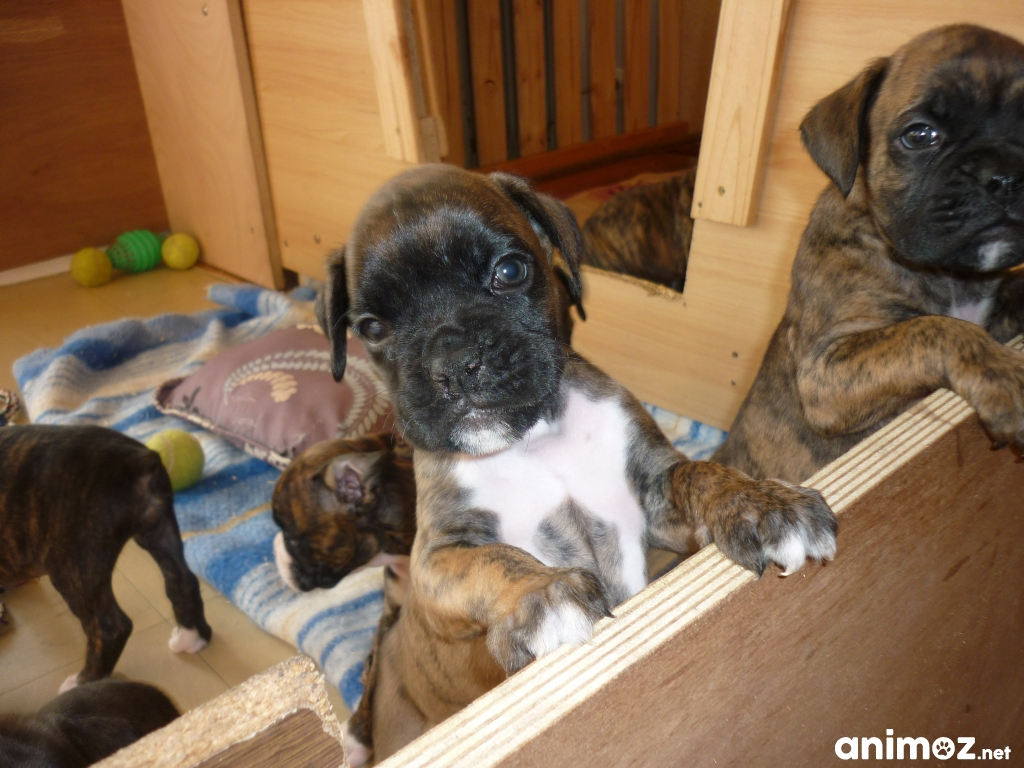 chiots boxer lof r server sur. Black Bedroom Furniture Sets. Home Design Ideas
