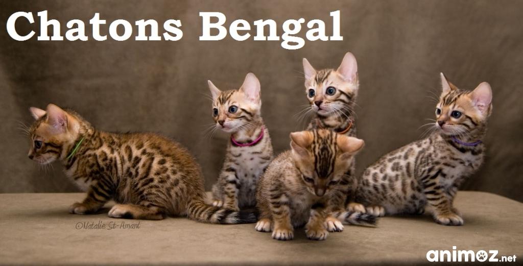 Magnifiques chatons bengal loof gironde 33 sur - Chaton bengal gratuit ...