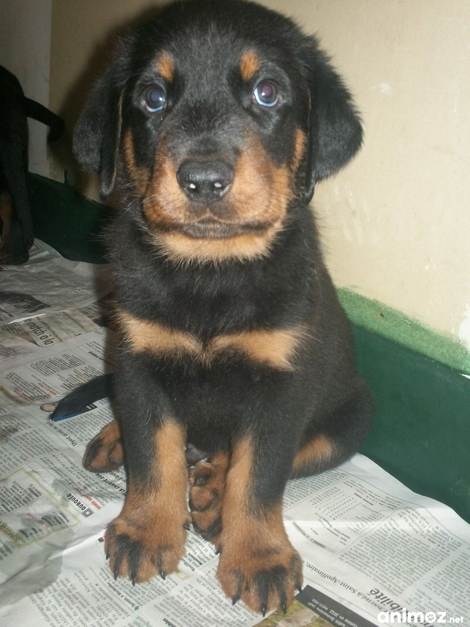 Pin Image-chiot-type-yorkshire on Pinterest