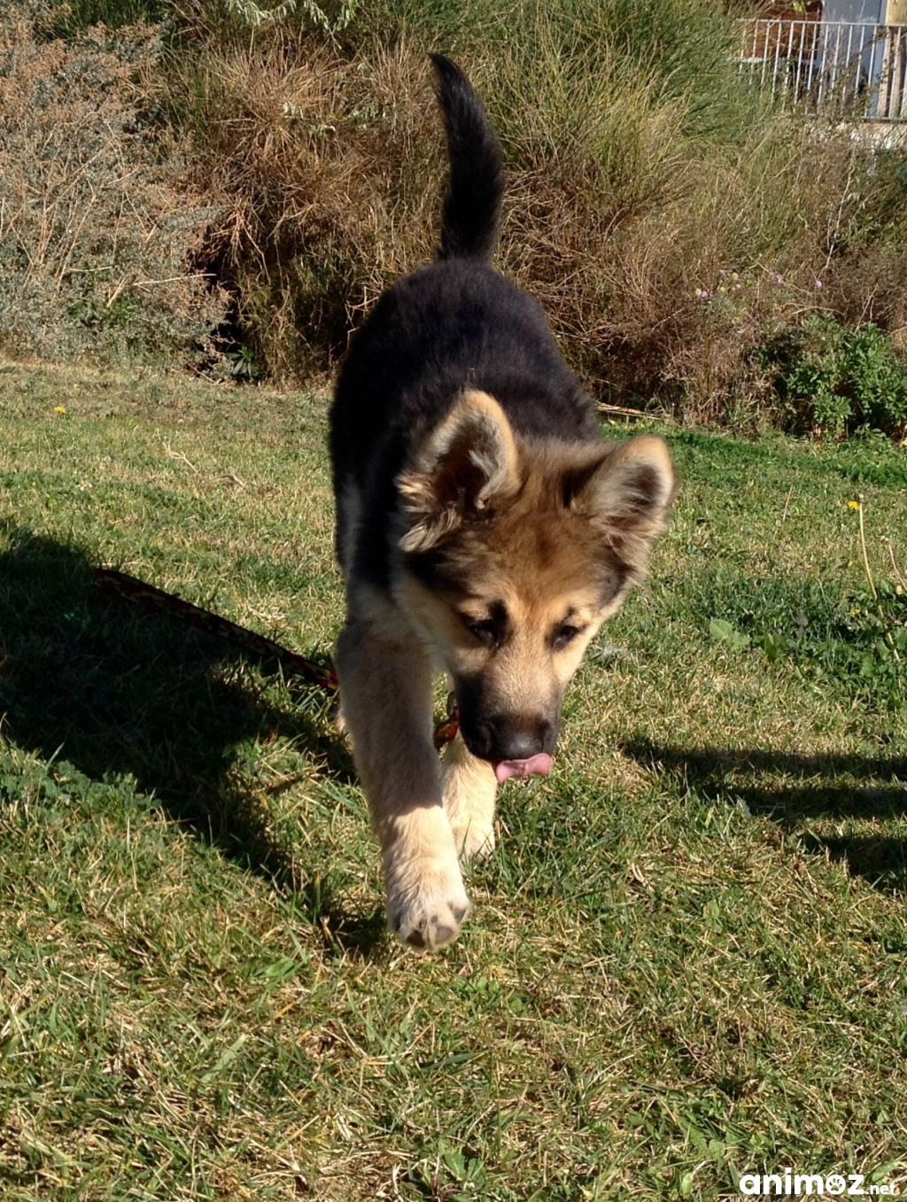 Donne chiot 3 mois berger husky beauceron border - Berger allemand gratuit ...