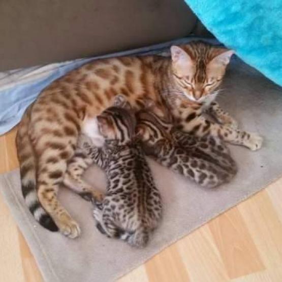 image pour lannonce magnifique chatons bengal - Chaton Bengal Gratuit