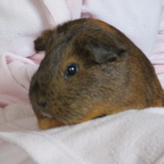 urgent cherche famille d 39 adoption pour rose douce cochon inde de 2 ans val de marne 94. Black Bedroom Furniture Sets. Home Design Ideas