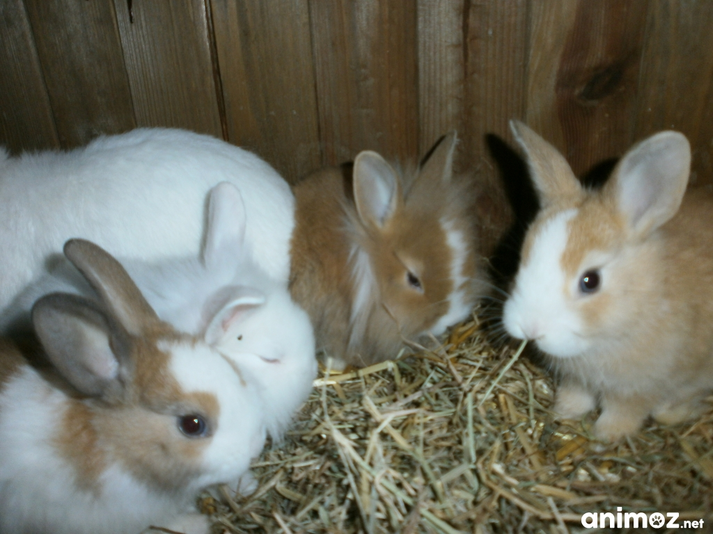 A Reserver Bebe Lapin Nain Finistere 29 Sur Animoz Net