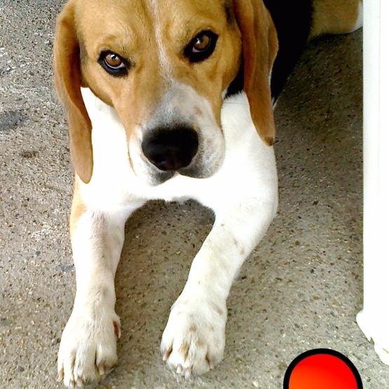 Cherche femelle beagle pour saillie loiret 45 gratuit - Chiot beagle gratuit ...