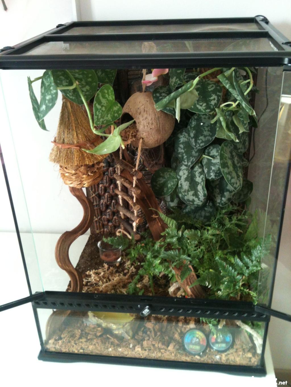 gecko  u00e0 cr u00eate rhacodactylus cilliatus vaucluse  84  sur animoz net