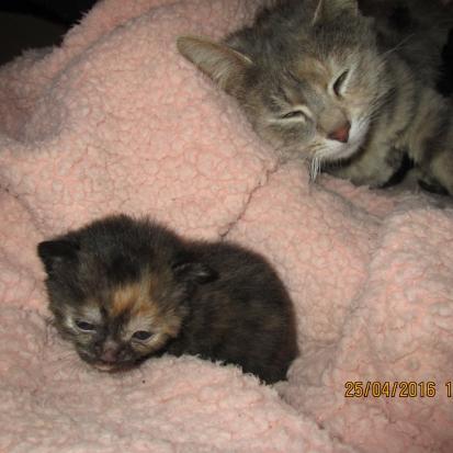 famille aimante recherche chaton femelle de 2 mois et demi 3 mois mayenne 53 gratuit sur. Black Bedroom Furniture Sets. Home Design Ideas