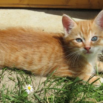 Petit chaton persan blanc loire 42 gratuit sur - Petit chaton gratuit ...