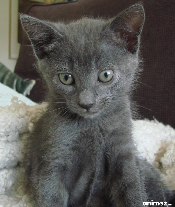 Donne chaton tout gris h rault 34 gratuit sur - Chatons gratuit ...