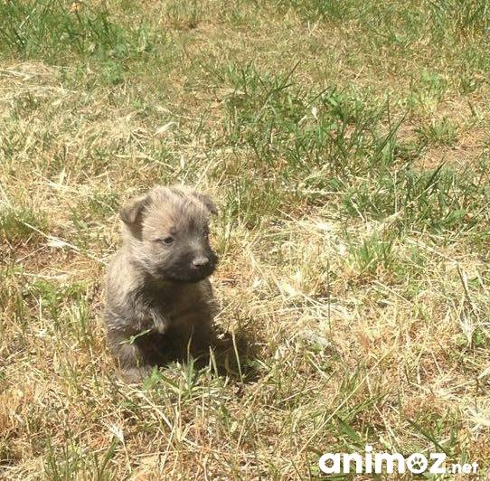 Chiots Cairn Terrier A Vendre Gard 30 Sur Animoz Net