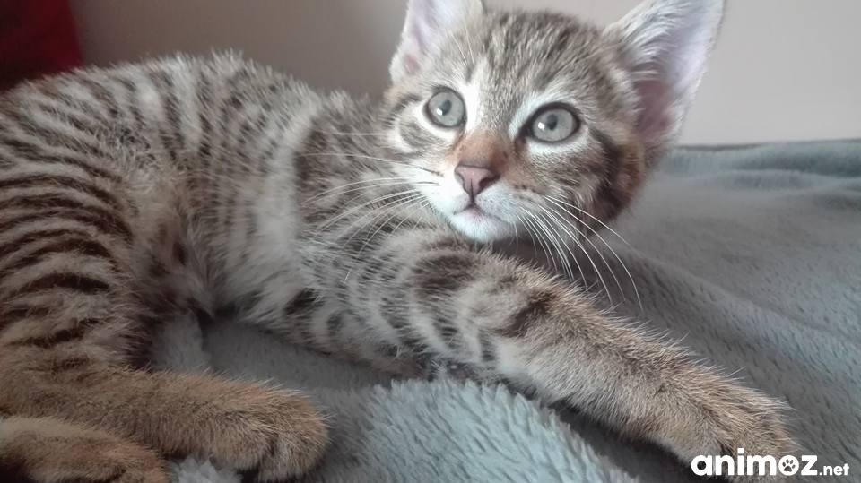 Donne Chaton Tigre De 2 Mois Sevrer Et Propre Nord 59 Gratuit Sur Animoz Net