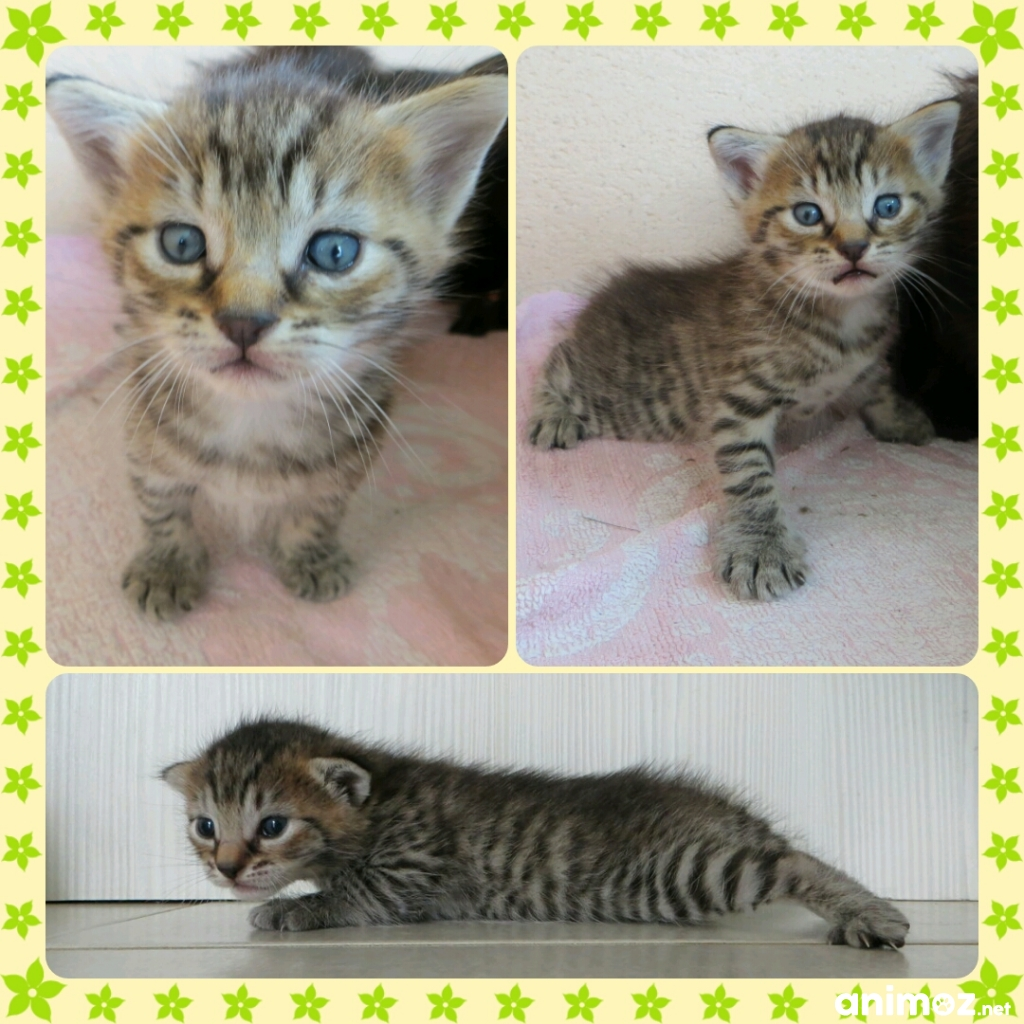 3 Chatons Croises Maine Coon Europeen A Reserver Indre 36 Sur Animoz Net