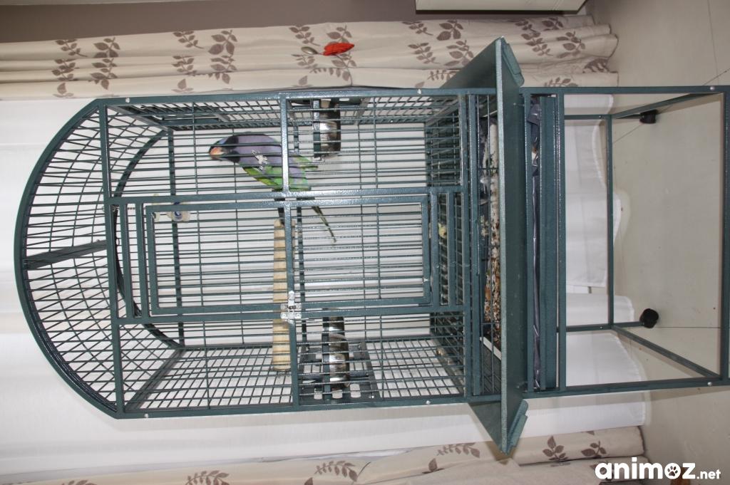 vends grande perruche derby qui parle avec sa cage. Black Bedroom Furniture Sets. Home Design Ideas