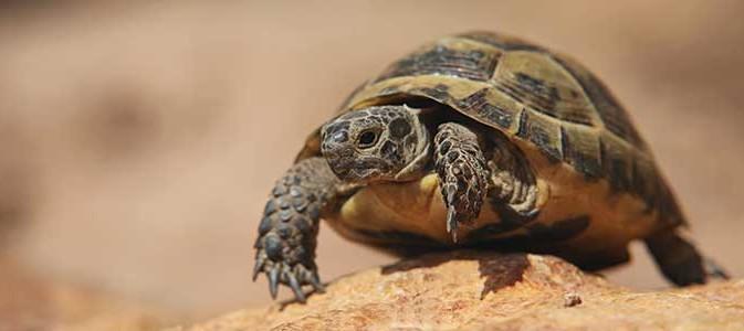 Tortue de terre m le hermann corse haute garonne 31 sur - Dessin du lievre et de la tortue ...