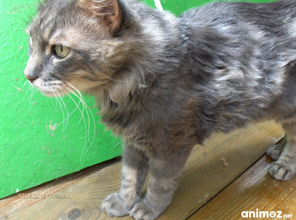 image pour lannonce grand chat adulte gris angora marseille 13004 - Chat Adulte Gratuit