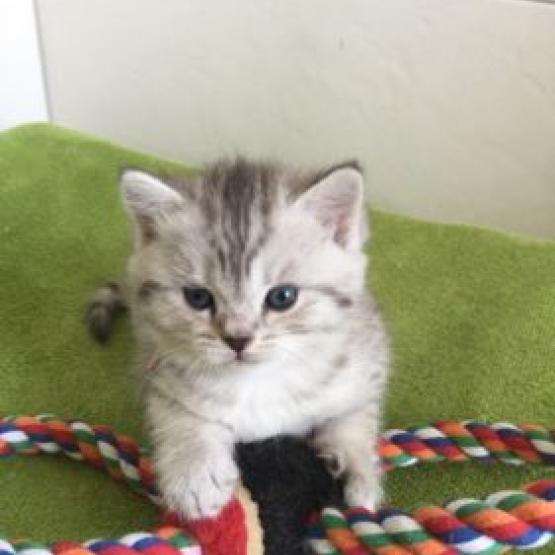 magnifiques chatons en adoption Paris (75) - GRATUIT sur